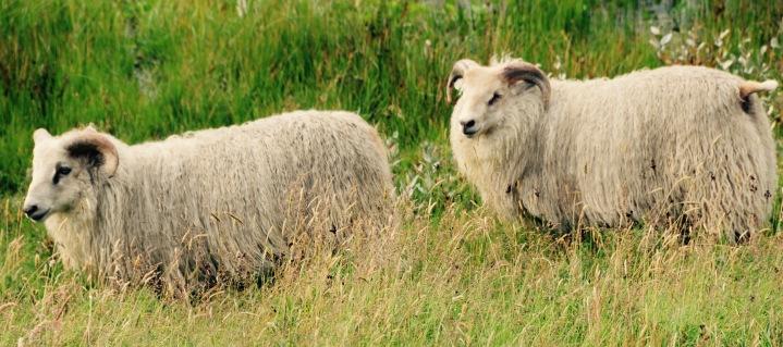 icelanidc sheep