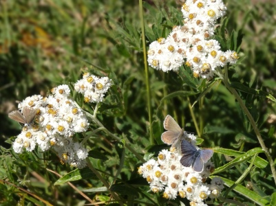 Bufferflies on Pearly Everlasting